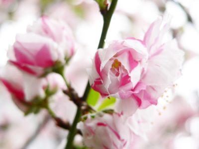 Flowery peach
