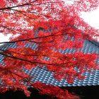 autumn tree in Jakkoin Temple